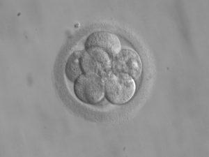 Embryo terugplaatsing