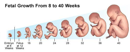 Wat is een embryo?